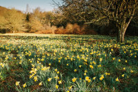 Wild Daffodils, Dunsford Woods