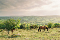 Widecombe Valley Dartmoor mare and foal