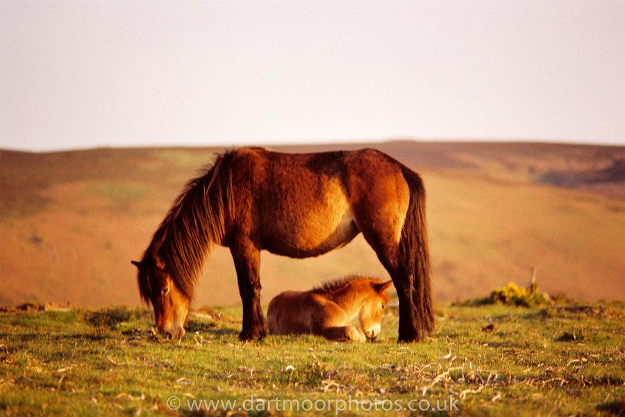 Dartmoor Mare framing foal