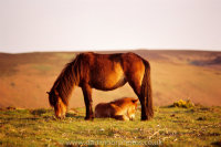 Dartmoor Mare framing foal