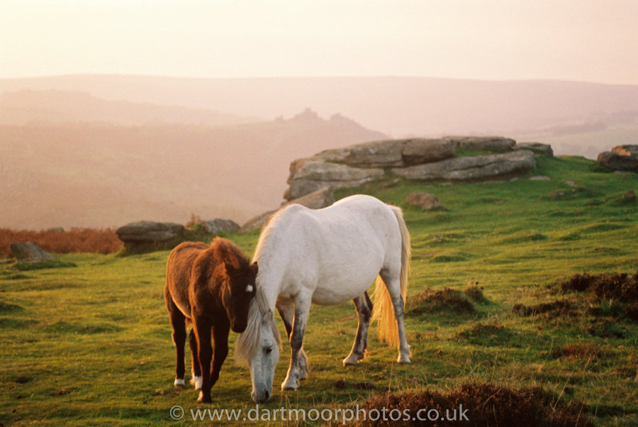 Dartmoor mare and foal with Houndtor Dusk