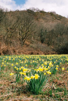 Wild Daffodils Dunsford Woods