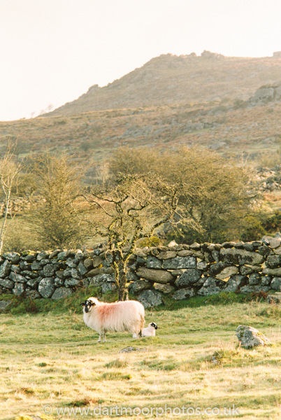 Emsworthy Mire newborn lamb