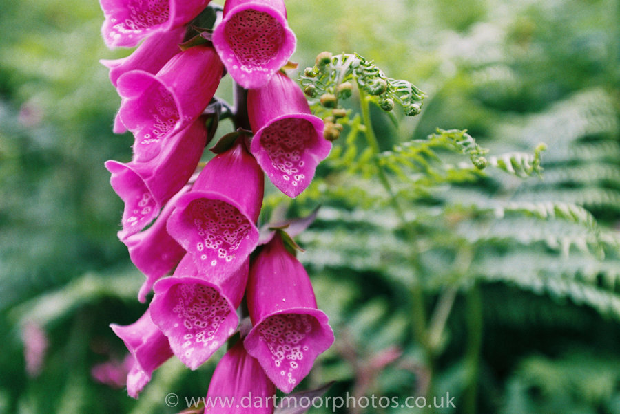 Foxglove and fern
