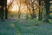 Bluebell woodland sunrise