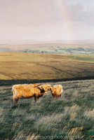 Highland cow and calf Hamel Down
