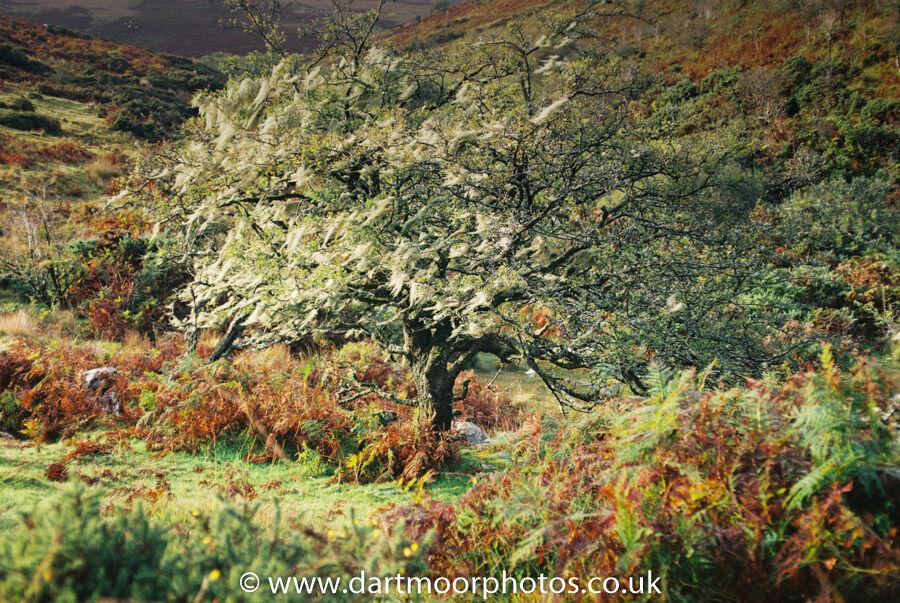 Hawthorn with Lichens