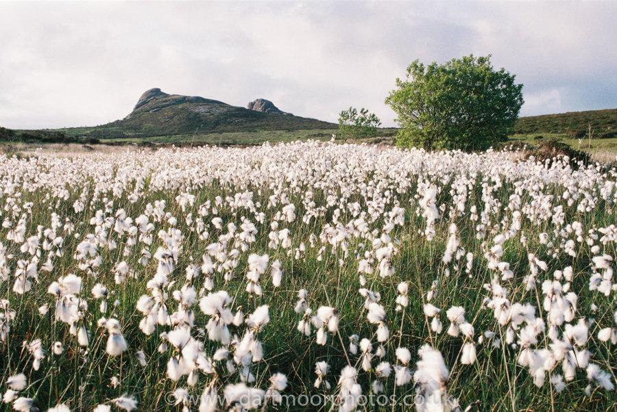 Cotton grass with Haytor