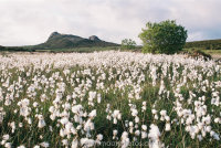 Cotton grass with Haytor