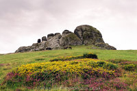 Haytor Heather and Gorse