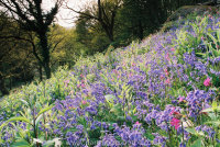 Bluebells and Red Campion Lustleigh Cleave