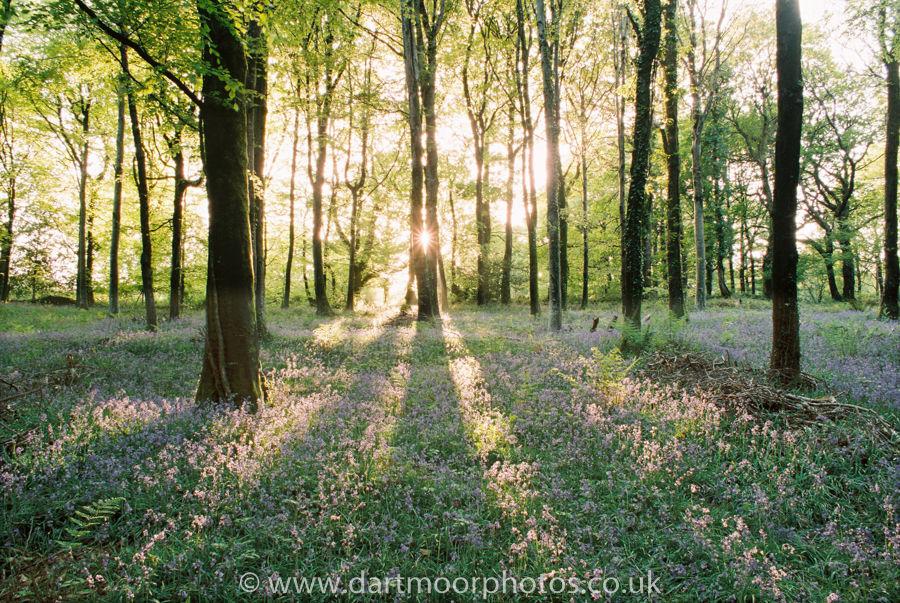Bluebells, Hembury Woods