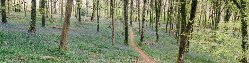 Hembury Woods Bluebell Panorama