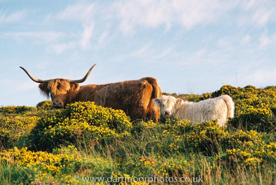 Highland cow and calf among gorse