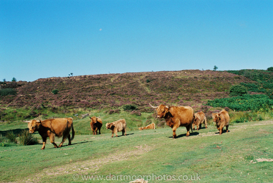 Highland Cattle Headland Warren