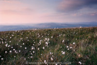 Cotton Grass at dusk on Holne Moor