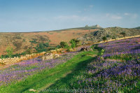 Bluebells Holwell Lawn to Haytor