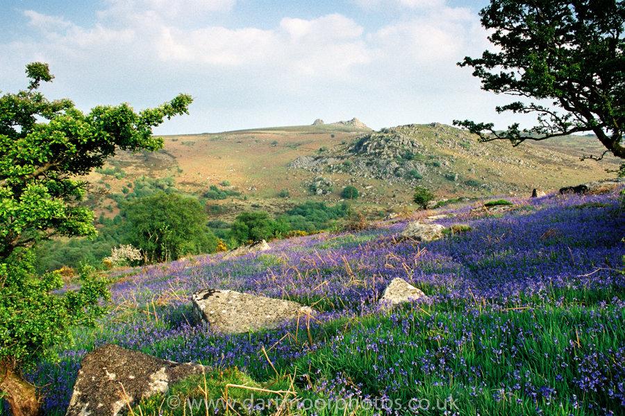 Bluebells with Haytor, Dartmoor