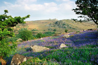 Bluebells with Haytor, Dartmoor