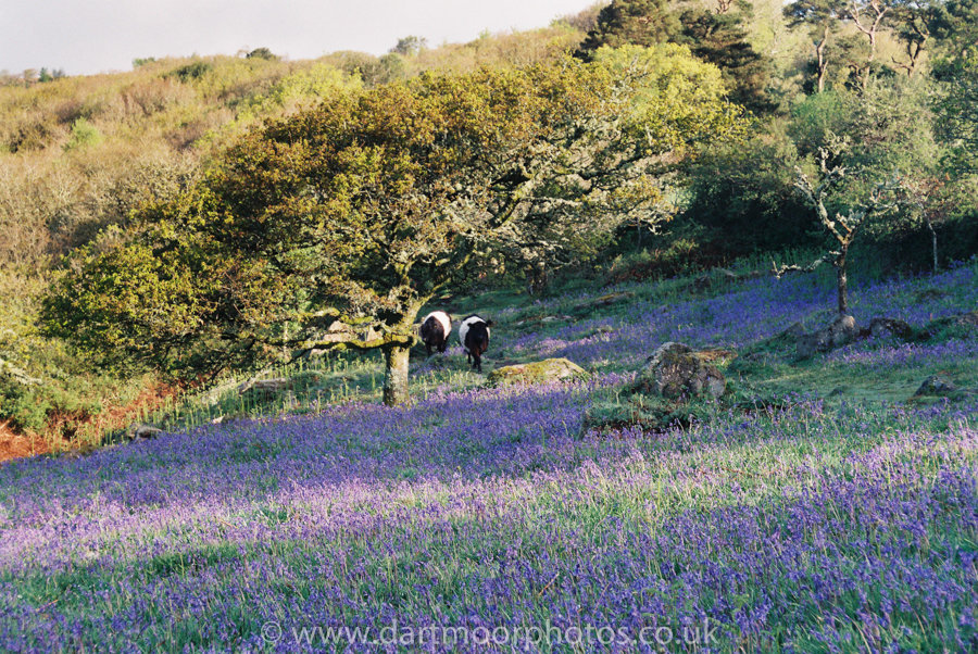 Belted Galloways and bluebells, Lustleigh Cleave first light