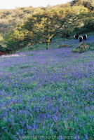 Bluebells, oak and Belted Galloways at dawn, Lusteigh Cleave