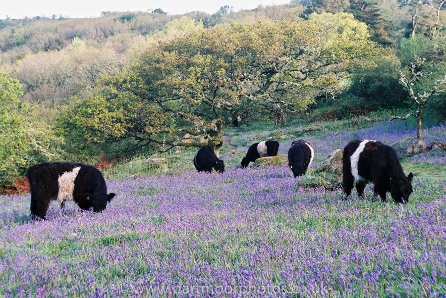 Belted Galloways grazing amongst bluebells, Lustleigh Cleave