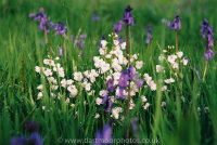 Cuckoo flowers and bluebells in Dartmoor meadow, first light