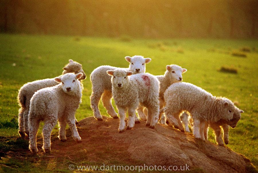 White Faced Dartmoor Lambs