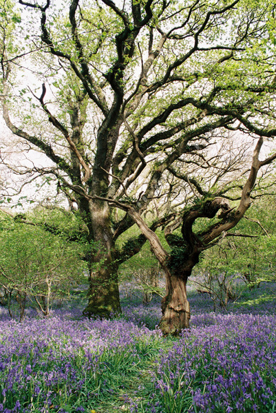 Bluebells and ancient oaks, Meldon Woods