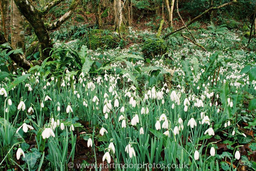 Snowdrops, Mill Woods, near Lustleigh