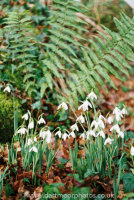 Snowdrops, Mill Woods, near Lustleigh