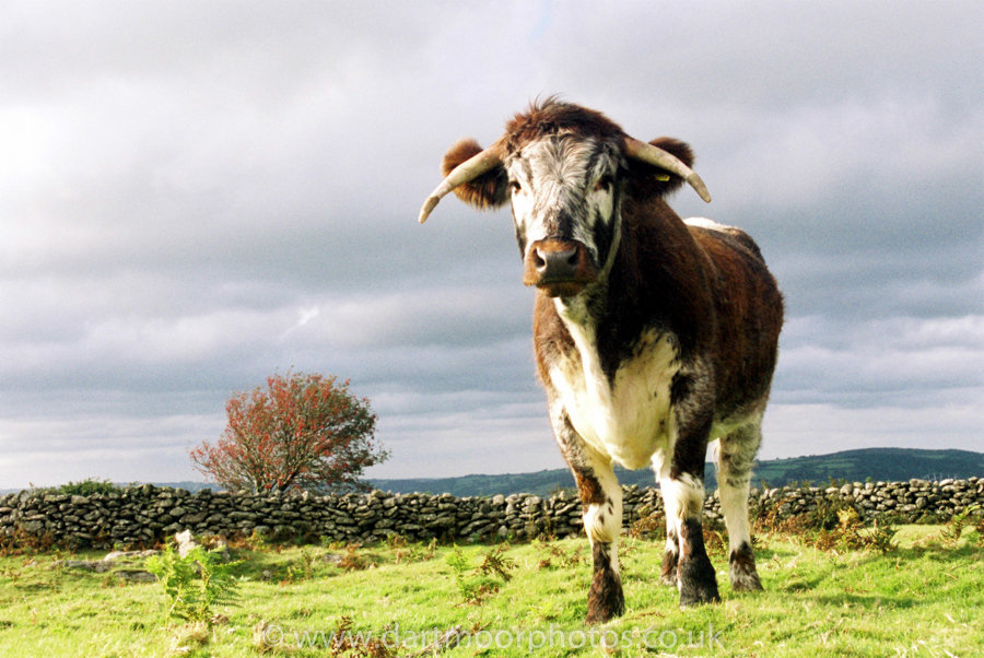 Old English Longhorn