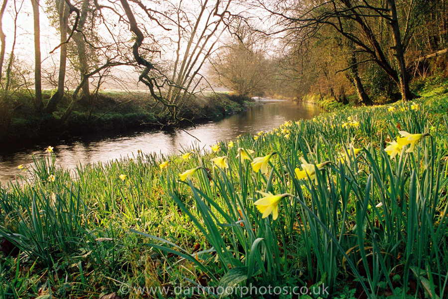 Wild Daffodils River Teign