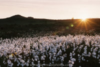 Cotton grass with Saddle Tor Sunset