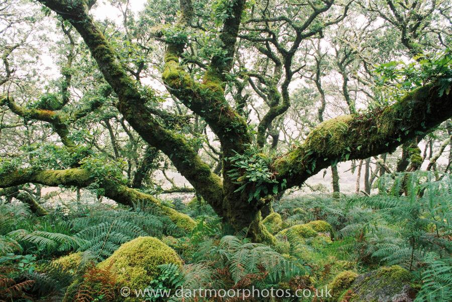 Wistman's wood in the mist