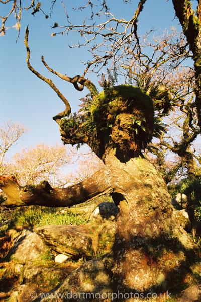 Ancient Oak Wistman's Wood
