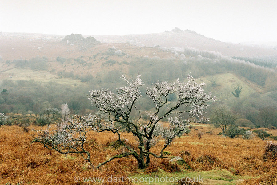 Hoarfrost in Hawthorn with Houndtor