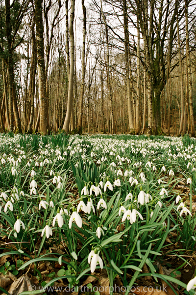 Snowdrops Whiddon Woods