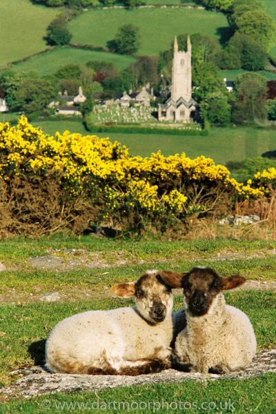 Widecombe lambs