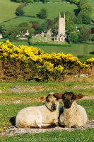 Widecombe lambs