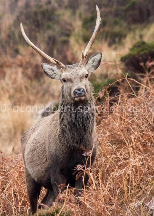 APPLECROSS RED DEER YOUNG STAG