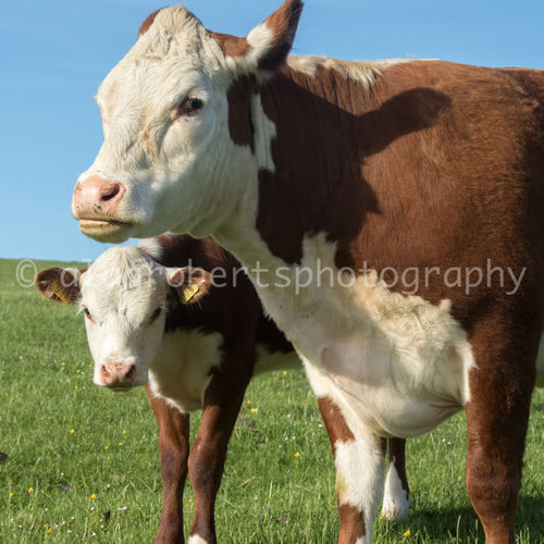 BAIL HILL HEREFORDS-3648 17