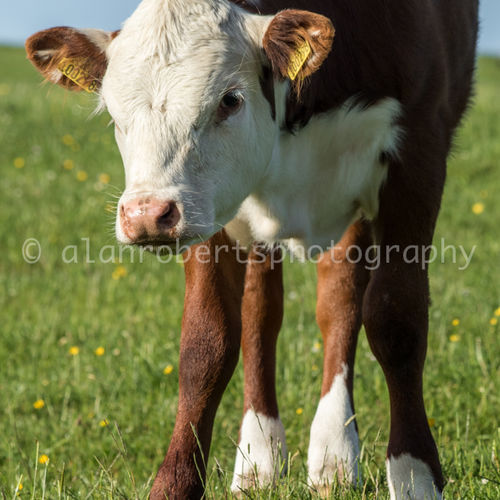 BAIL HILL HEREFORDS-3648 68
