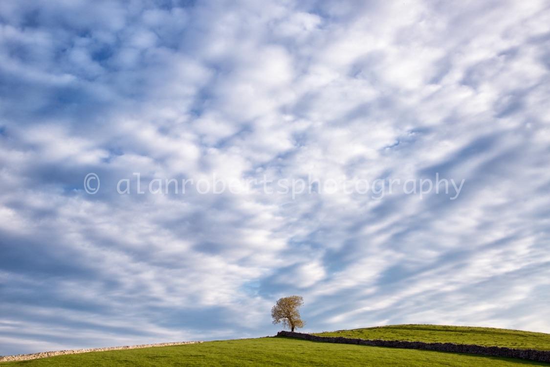 ASH TREE IN SPRING