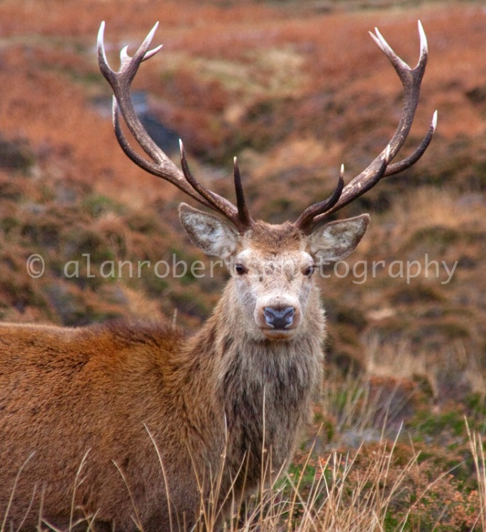 APPLECROSS STAG