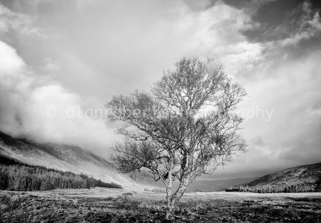 WINTER TREE APPLECROSS