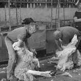 Sheep Shearing Contest