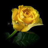 Eric's Rose