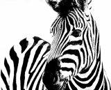 Hi Key Zebra
