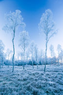 Frosted Birches
